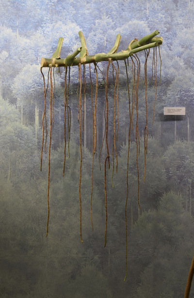 Monstera deliciosa (Modell: Luftwurzeln vom Fensterblatt (1:1))