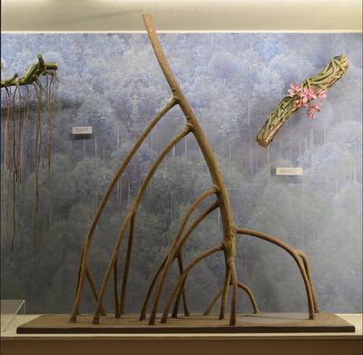 Rhizophora mangle (Modell: Mangroven-Stamm mit Stelzwurzeln des Roten Wurzelbaums (1:1))