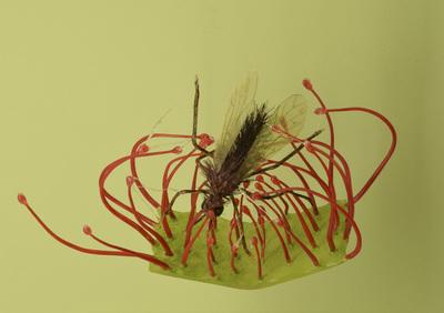 Drosera rotundifolia (Modell: Ausschnitt eines Fangblattes vom Rundblättrigen Sonnentau mit Insekt (20:1))