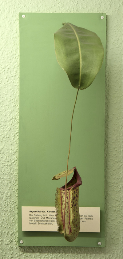 Nepenthes sp. (Modell einer Kannenpflanze (1:1))