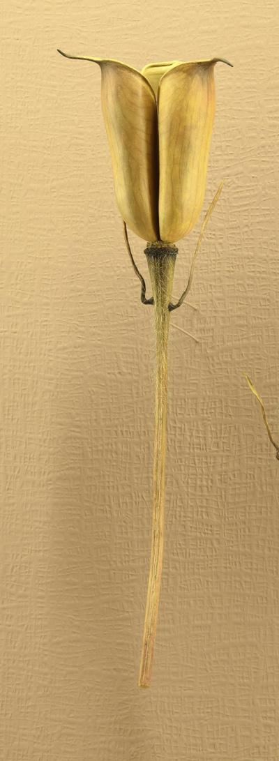 Delphinium elatum (Modell Junge Sammelfrucht von Delphinium elatum (6:1))