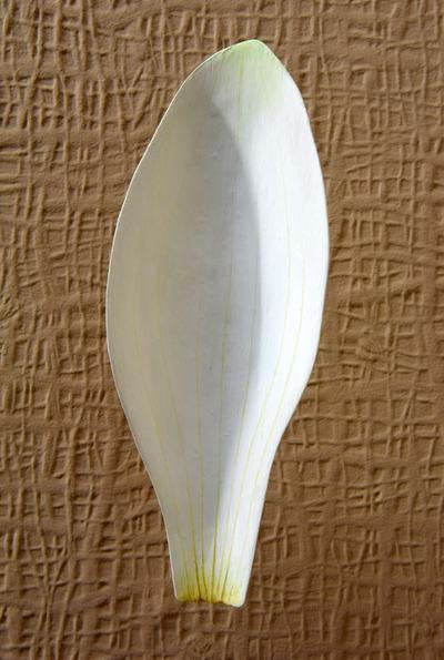 Nymphaea alba (Modell Übergangsformen vom Staubblatt zum Blütenhüllblatt (4:1) Entwicklung der Staubblätter bei Nymphaea alba)