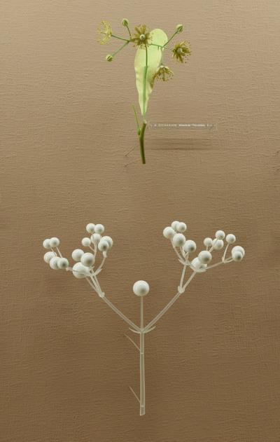 Tilia cordata (Modell Dichasium der Winterlinde (Blütenstandsmodell 5:1))
