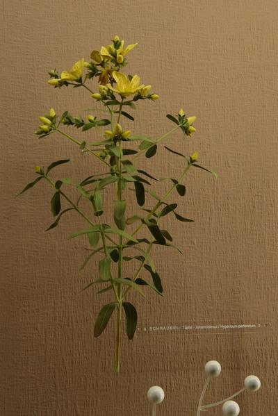 Hypericum perforatum (Modell Tüpfel-Johanniskraut (Blütenstandsmodell 2:1))