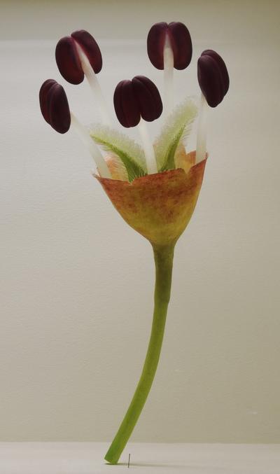 Ulmus laevis (Modell Blüte einer Flatter-Ulme (60:1))