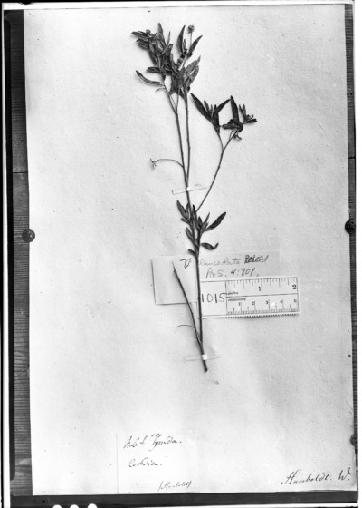 Cordia lanceolata (Desv.) Kunth