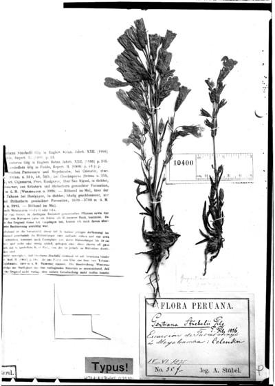 Gentiana steubelii Gilg