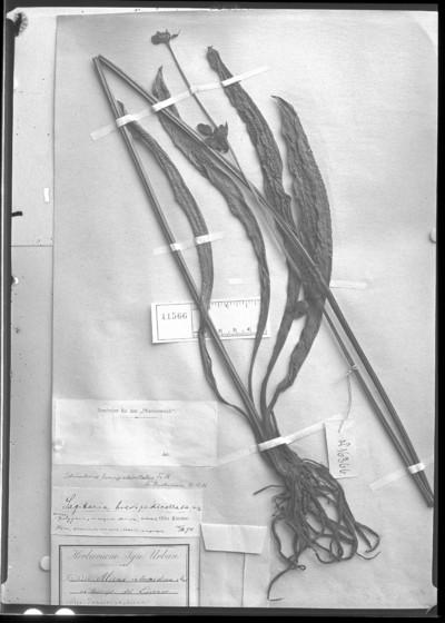 Echinodorus brevipedicellatus (Kuntze) Buchenau