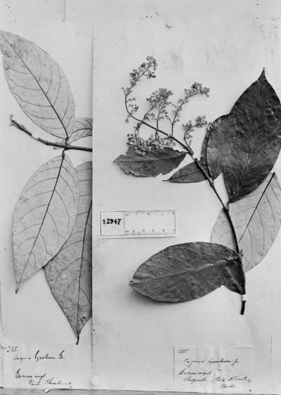 Trigonia hypoleuca Griseb.