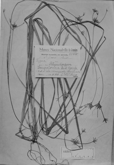 Rhynchospora sampaioana R. Gross