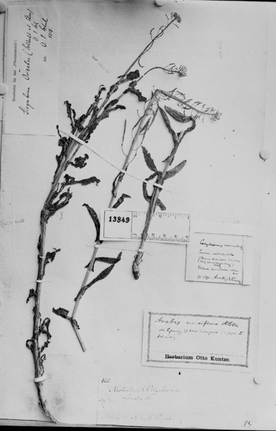 Sisymbrium orizabae (Schltdl. & Cham.) O. E. Schulz