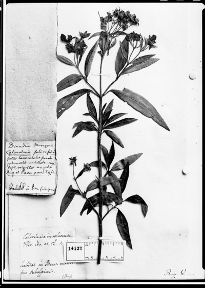 Calceolaria salicifolia Ruíz & Pav.