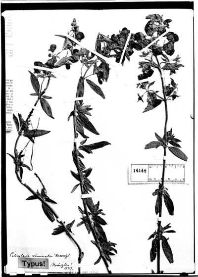 Calceolaria viminalis Kraenzl.