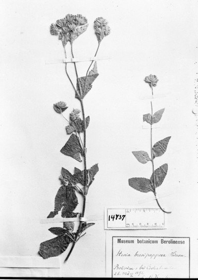 Stevia brevipapposa Hieron.