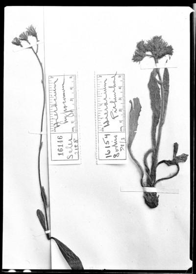 Hieracium hypocomum Zahn