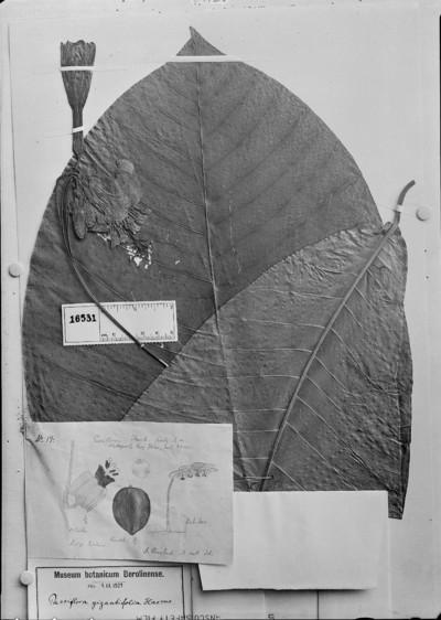 Passiflora gigantifolia Harms