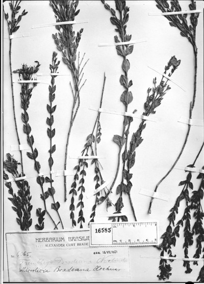 Microlicia bradeana Hoehne