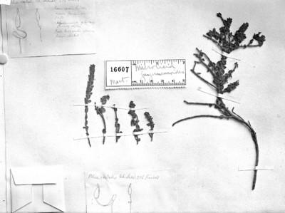 Microlicia jungermannioides (Mart. & Schrank) DC.
