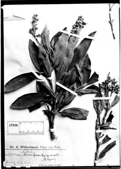 Miconia floccosa Cogn.