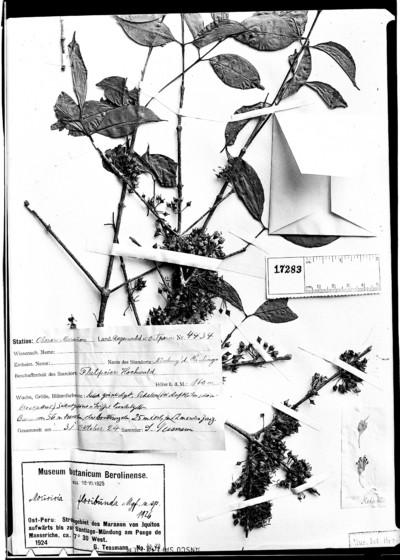 Mouriri floribunda Markgr.
