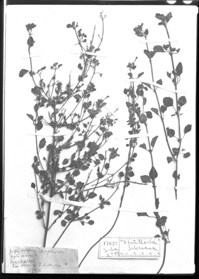 Scutellaria seleriana Loes.