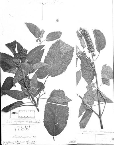 Salvia congestiflora Epling