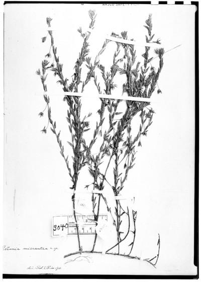 Petunia micrantha Fr.