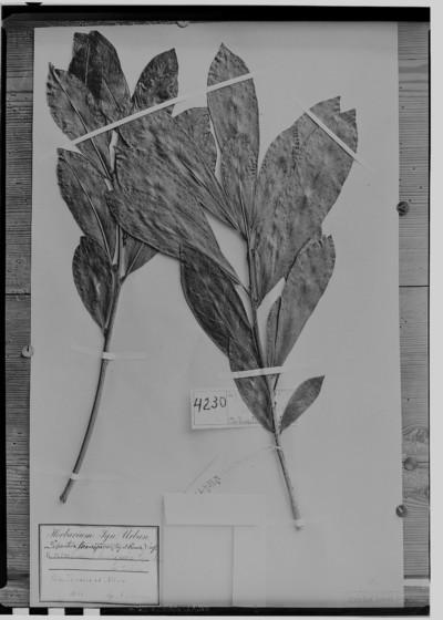 Labatia beaurepairei (Glaz. & Raunk.) Engl.