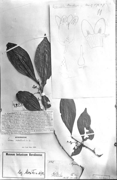 Conomorpha meridensis Mez