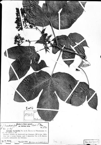 Jatropha thyrsantha Pax & K. Hoffm.