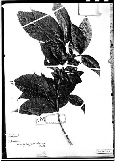 Allophylus peruvianus Radlk.