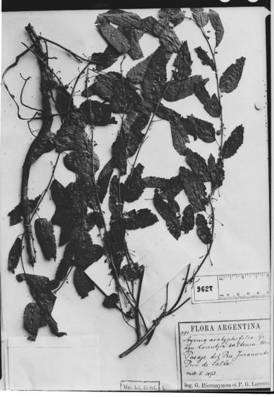 Ayenia acalyphifolia Griseb.