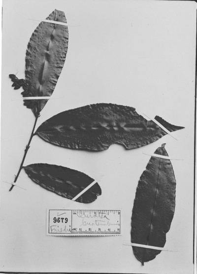 Ouratea guatemalensis Engl.