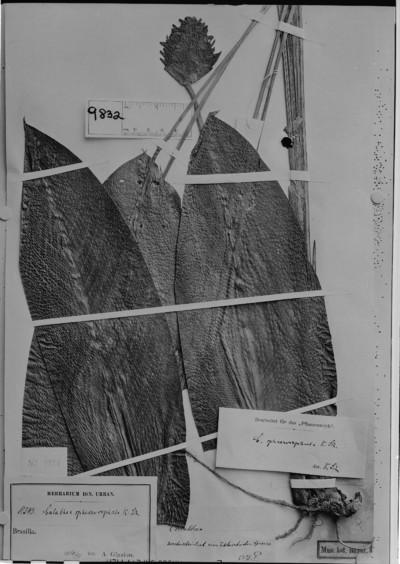 Calathea sphaerocephala Schum.