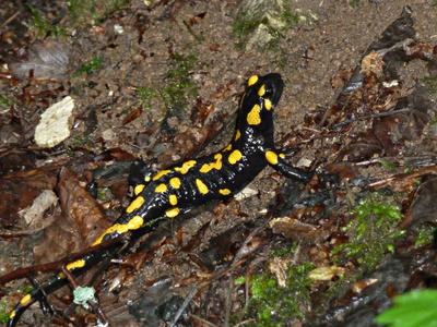 Salamandra salamandra subsp. salamandra (Linnaeus, 1758)