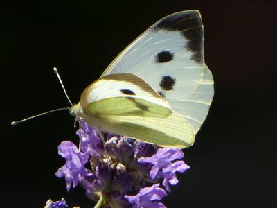 Pieris brassicae (Linnaeus, 1858)