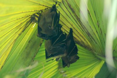 Cynopterus brachyotis (Müller, 1838)