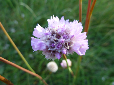 Armeria maritima subsp. elongata (Hoffm.) Bonnier
