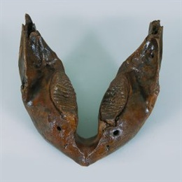 Donja čeljust vunastog mamuta Mammuthus primigenius Blumenbach