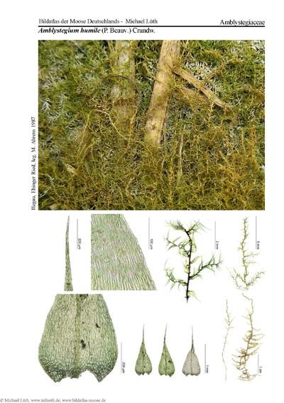 Amblystegium humile
