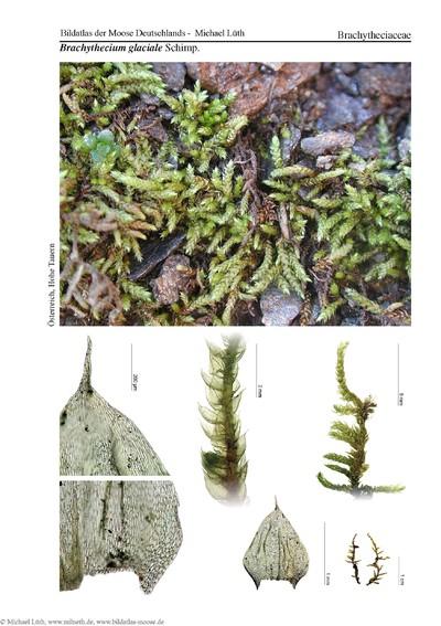 Brachythecium glaciale