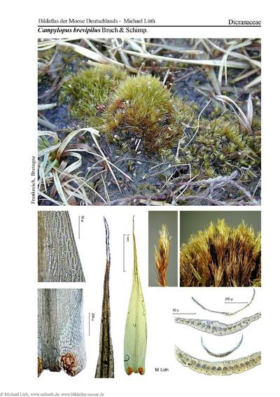 Campylopus brevipilus