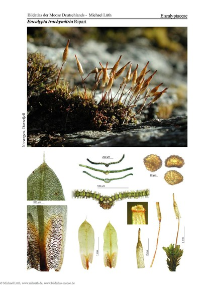 Encalypta trachymitria