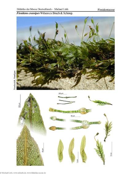 Fissidens crassipes