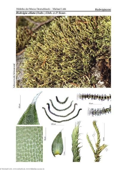 Hedwigia ciliata var. ciliata