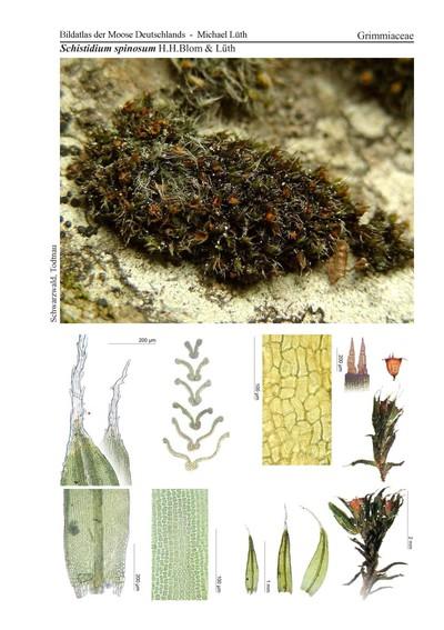 Schistidium spinosum