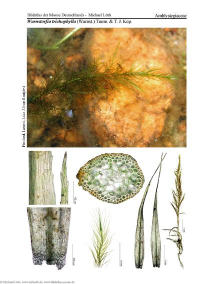 Warnstorfia trichophylla