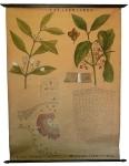 [Celastraceae]. Celastracées : Catha esdulis, Evonymus atropurpureus