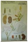 [Fabaceae]. Sénés officinaux : Cassia angustifolia, Cassia acutifolia. Cesalpiniées. Sénés de la Palthe, Cassia auriculata, Cassia obovata.