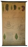[Fabaceae]. Sénés : Tinnevelly, Alexandrie, Soudan. Cassia angustifolia, Cassia acutifolia, Cassia obovata, feuille de Séné, feuille d'Argel, Feuille de Redoul.